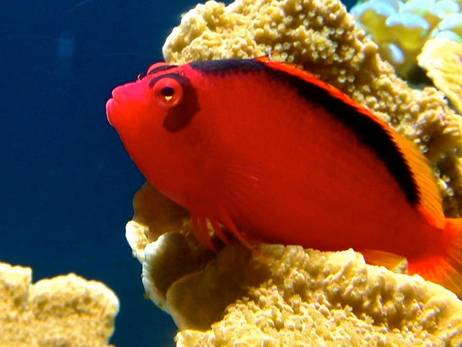 Saltwater Photograph - Fish Painted Red by Danielle  Broussard