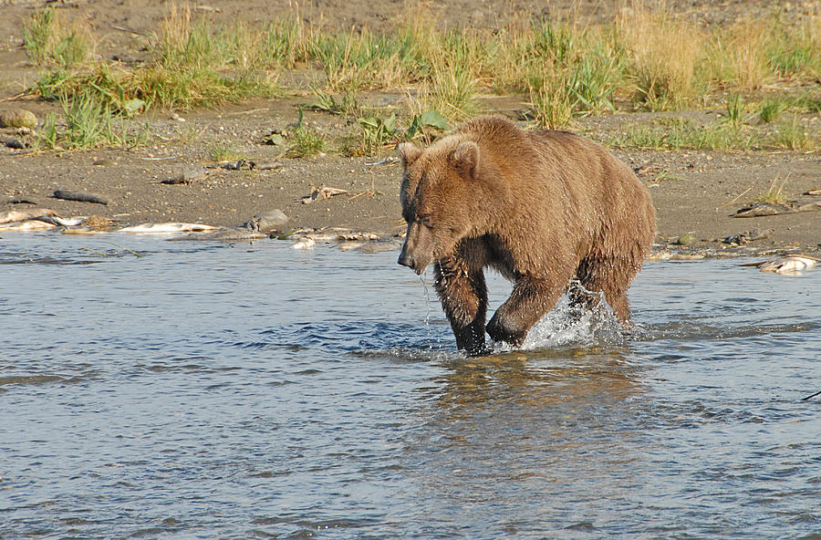 Brown Bear Photograph - Fishin For Dinner by Dyle   Warren