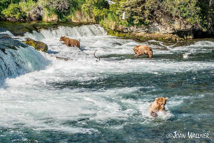 Alaska Photograph - Fishing Eating Plunging by Joan Wallner