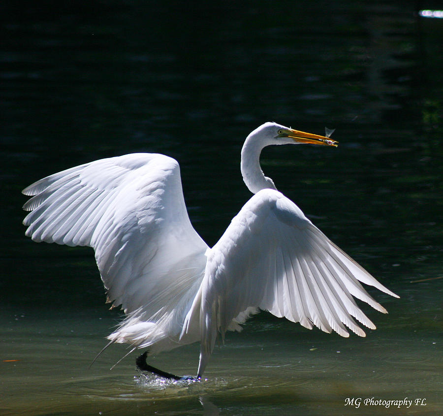Bird Photograph - Fishing Egret by Marty Gayler