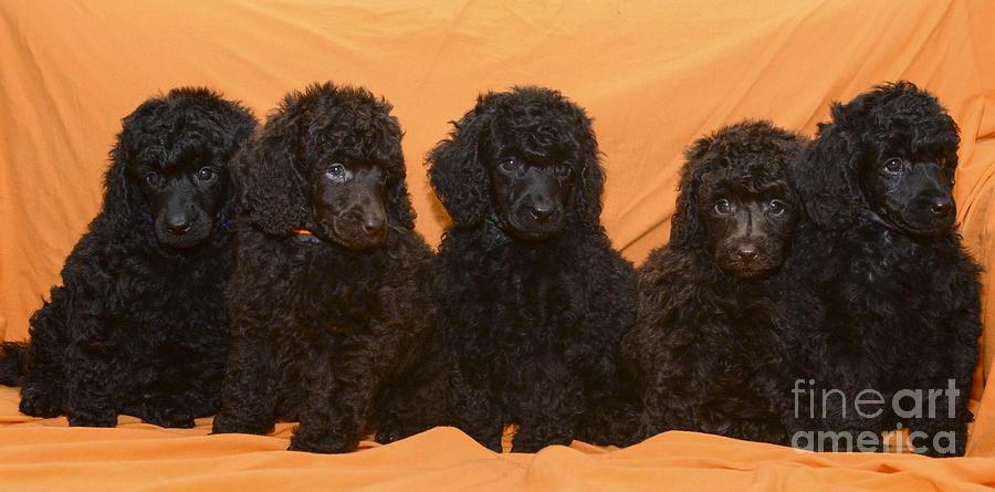 Poodles Photograph - Five Poodle Puppies  by Amir Paz