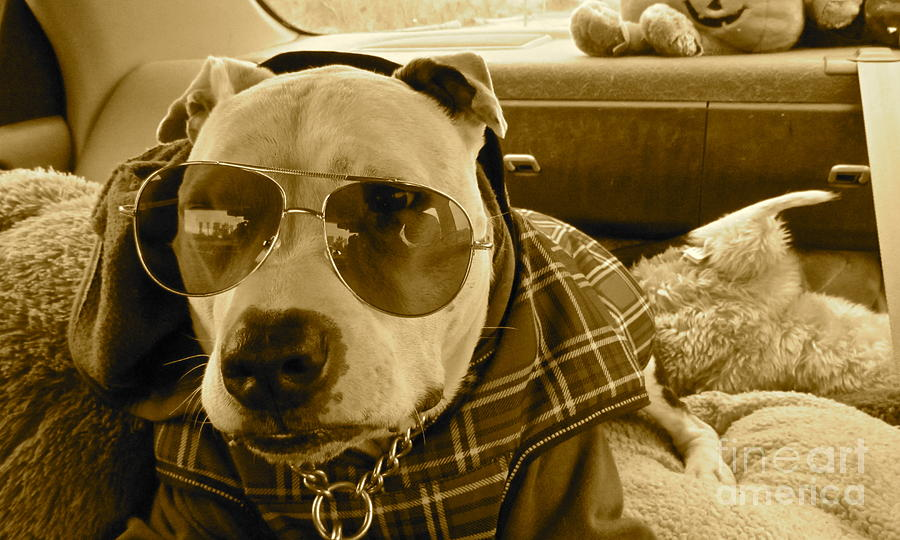 Pit Bulls Photograph - Fix My Sunglasses.... by Qs House of Art ArtandFinePhotography