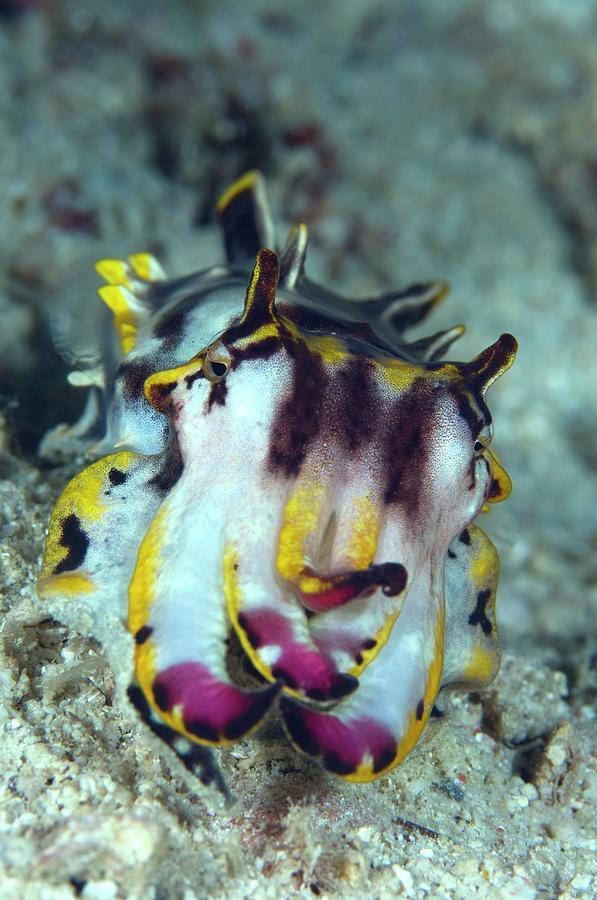 Metasepia Pfefferi Photograph - Flamboyant Cuttlefish by Scubazoo/science Photo Library