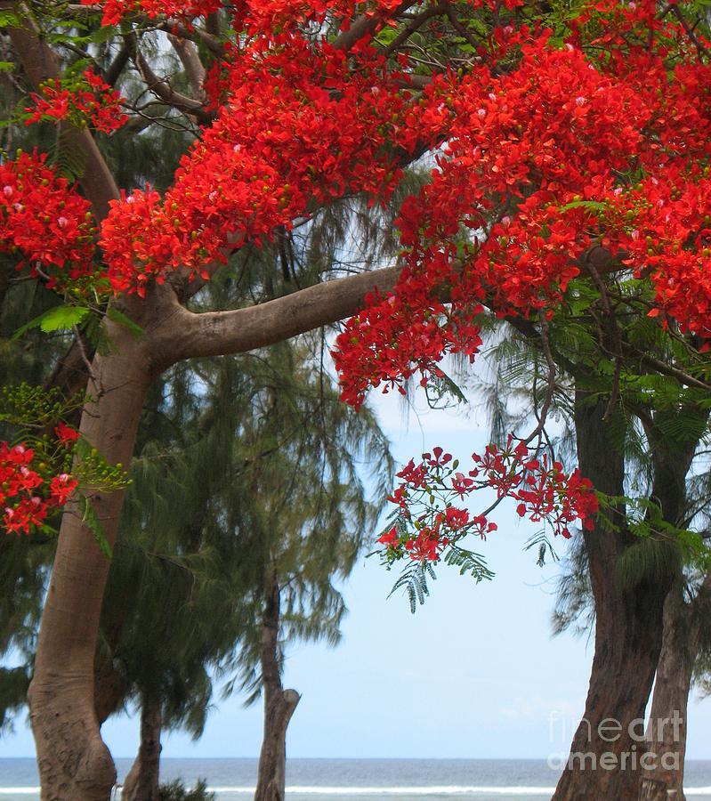 Flamboyant - Ile De La Reunion - Reunion Island Photograph by Francoise Leandre