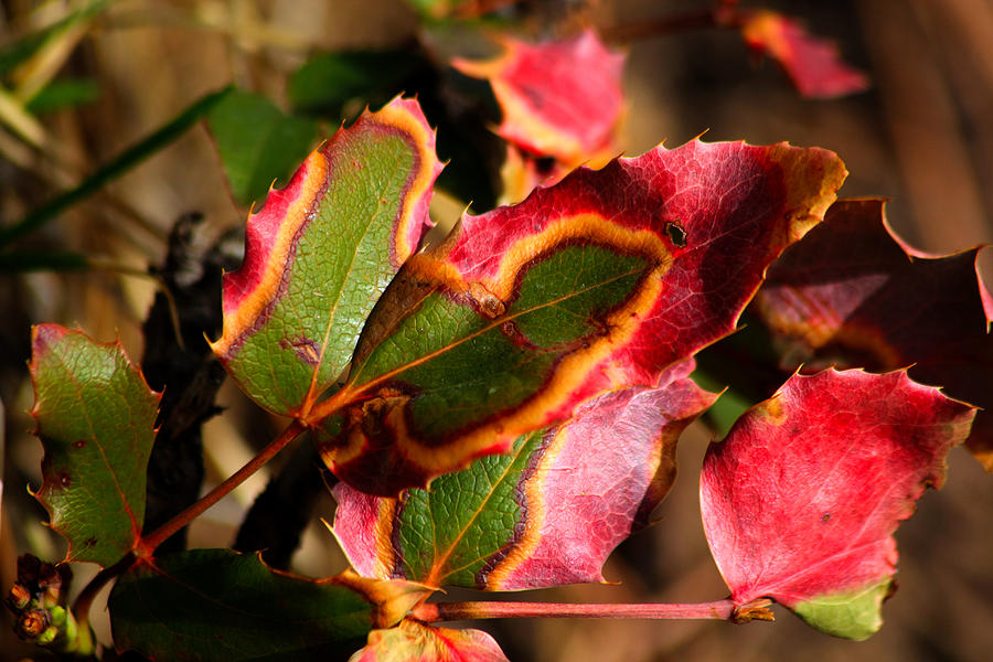 Flaming Leaves Photograph by Shane Bechler