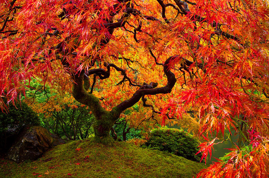 Portland Photograph - Flaming Maple by Darren  White
