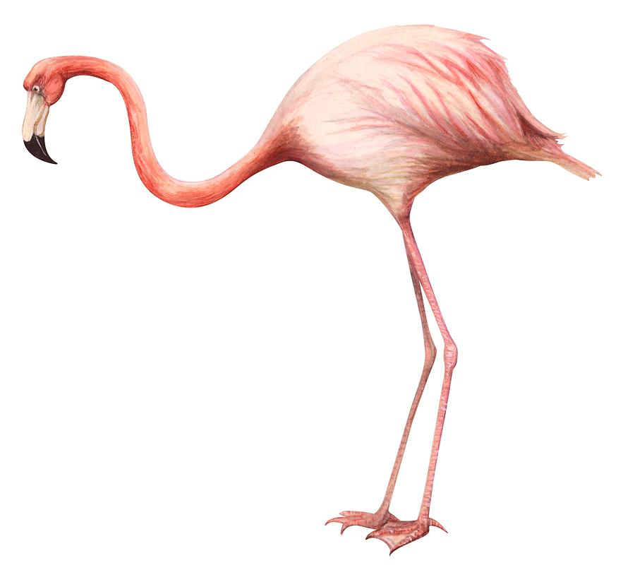 Flamingo Drawing By Anonymous