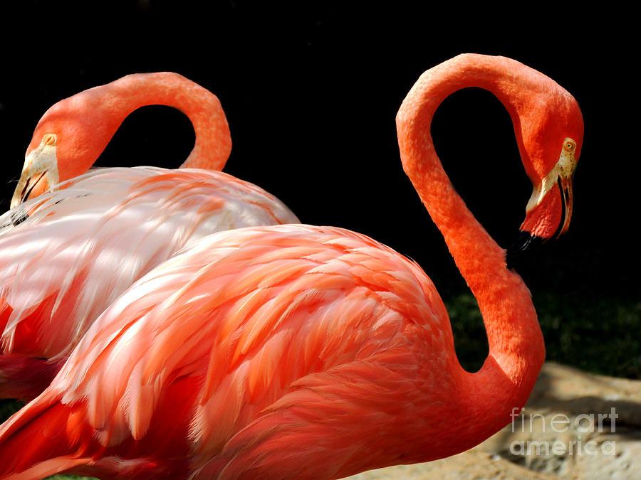 Flamingo Couple Photograph