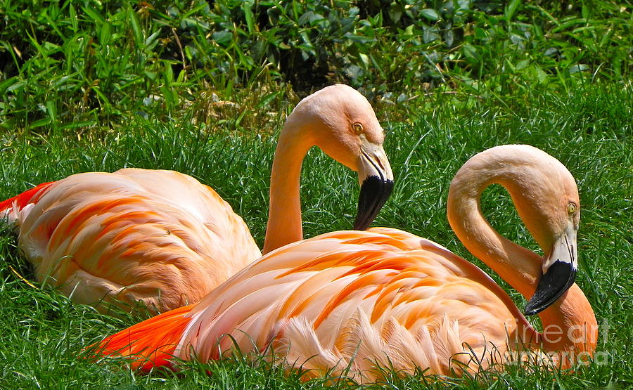 Flamingo Photograph - Flamingo Duo by Eve Spring