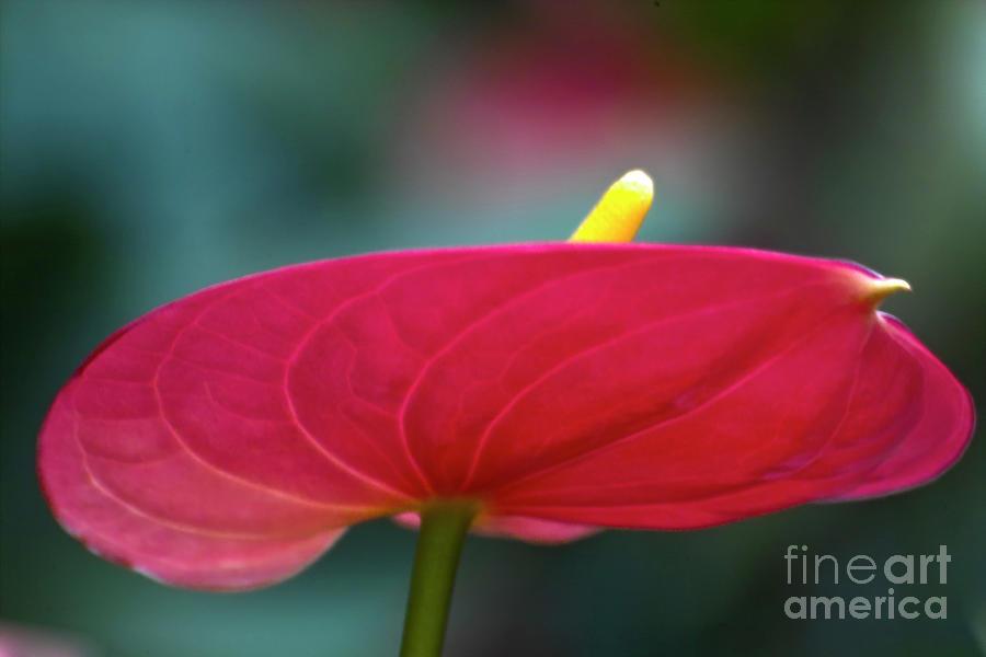 Heiko Photograph - Flamingo Flower 1 by Heiko Koehrer-Wagner
