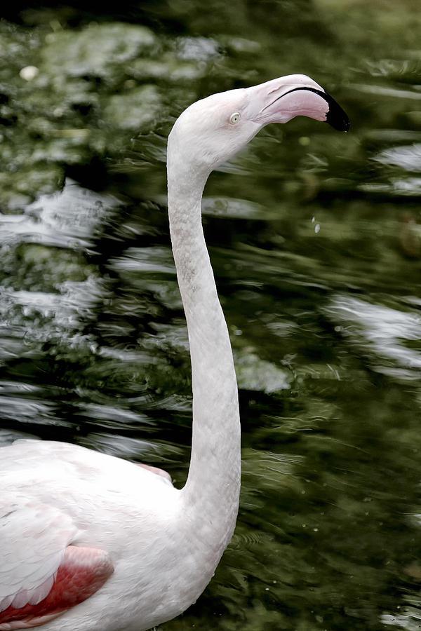 Phoenicopterus Photograph - Flamingo by Goyo Ambrosio