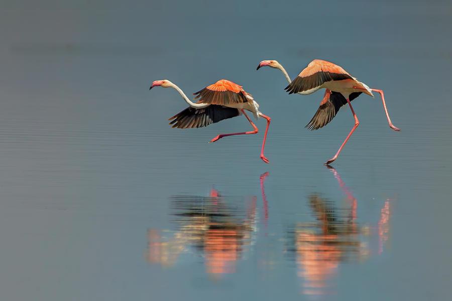Flamingo Photograph - Flamingo Landing by Yun Wang
