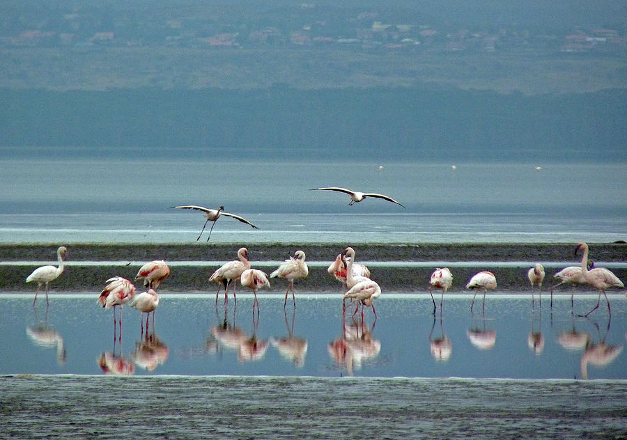 Flamingo Photograph - Flamingo On Lake Nakuru by Tony Murtagh