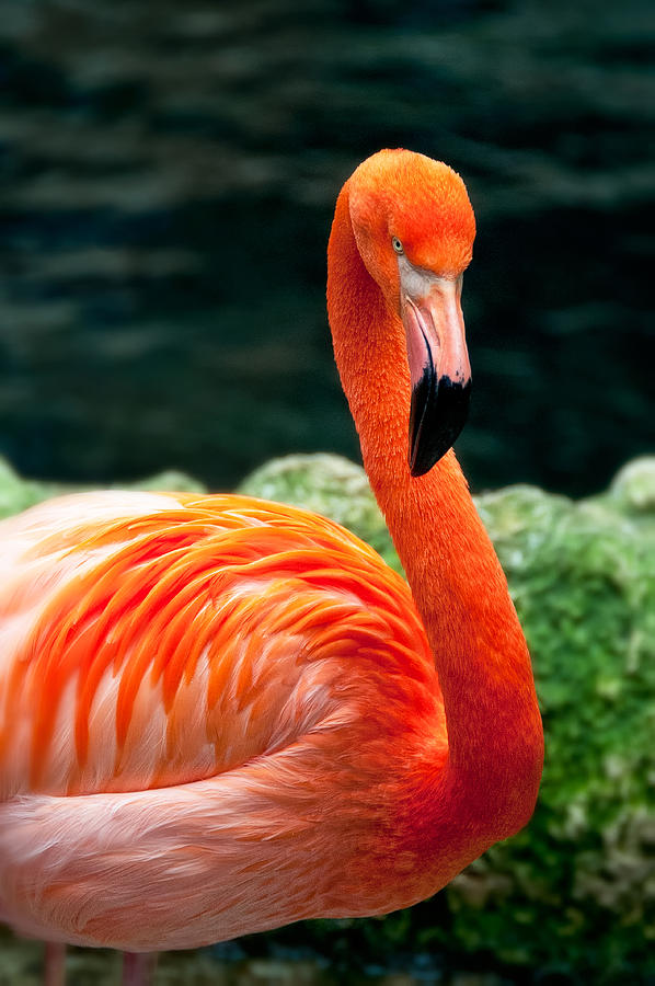 Flamingo Posing by Joe Ownbey