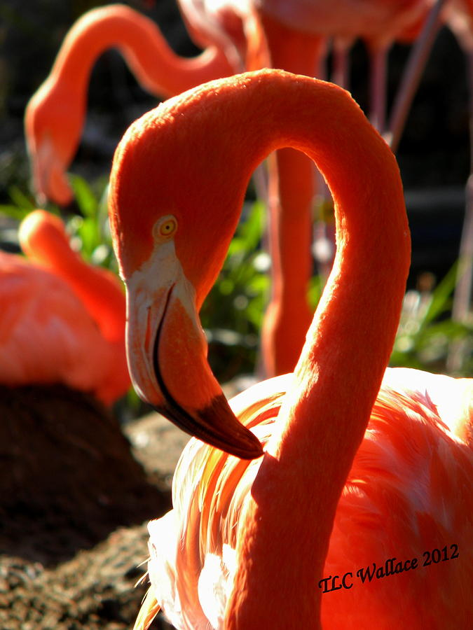 Flamingo Photograph - Flamingo by Tammy Wallace