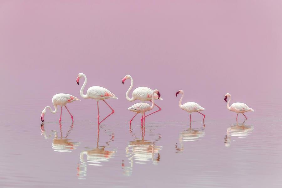 Flamingo Photograph - Flamingos by Eiji Itoyama