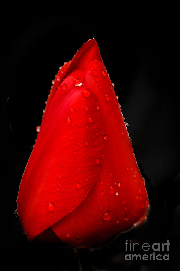 Plants Photograph - Floating Red Tulip by Robert Bales