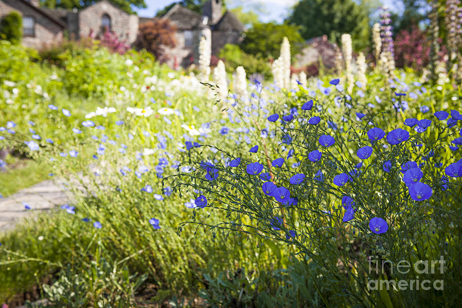 Flax Photograph - Flax Flowers In Summer Garden by Elena Elisseeva