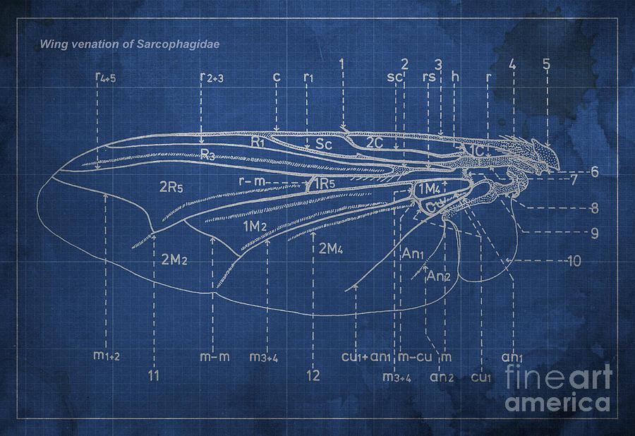 Flesh Fly Digital Art - Flesh Fly Wing Blueprint Blue by Drawspots Illustrations