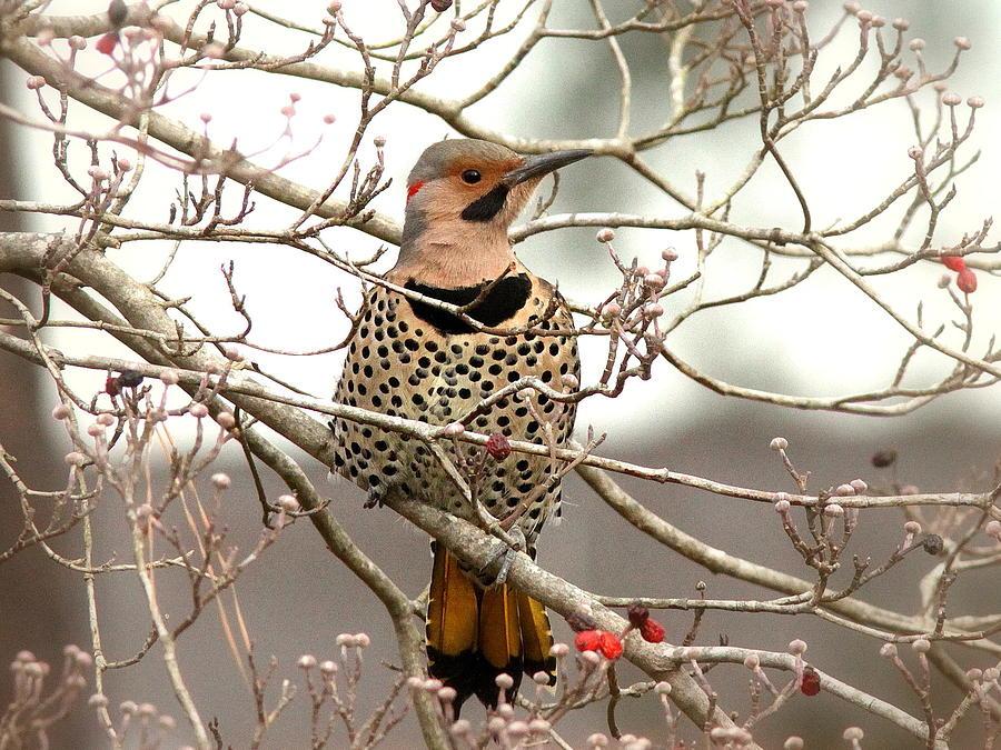 Flicker Alabama State Bird Attention Photograph By Travis Truelove