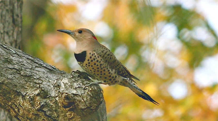 Fauna Photograph - Flicker by Debbie Sikes