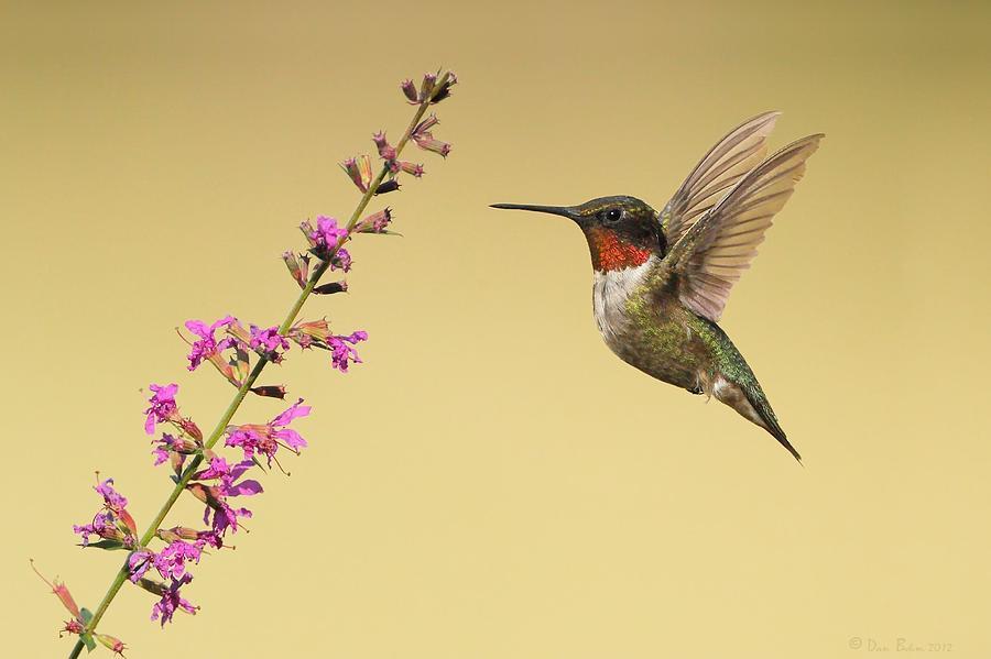 Ruby Throated Hummingbird Photograph - Flight Of A Hummingbird by Daniel Behm