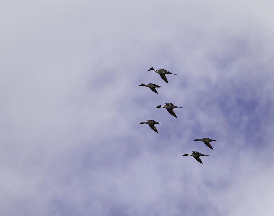 Pintail Duck Photograph - Flight Of The Pintails 1 by Thomas Young