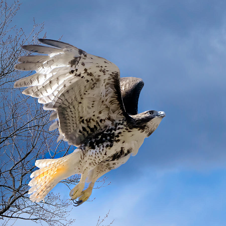 Hawk Photograph - Flight Of The Red Tail Square by Bill Wakeley