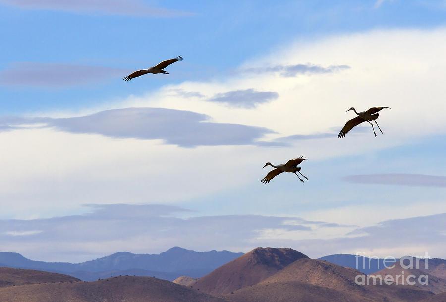 Sandhill Crane Photograph - Flight Of The Sandhill Cranes by Mike  Dawson