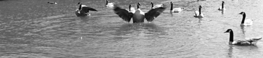 Geese Photograph - Flight by Sarah E Kohara