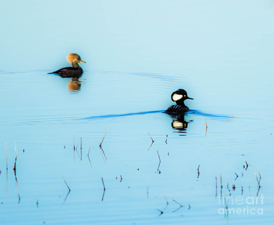 Ducks Photograph - Floating And Glowing by Ursula Lawrence