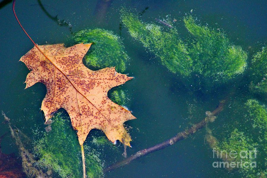 Leaf Photograph - Floating Leaf  by Karen Adams