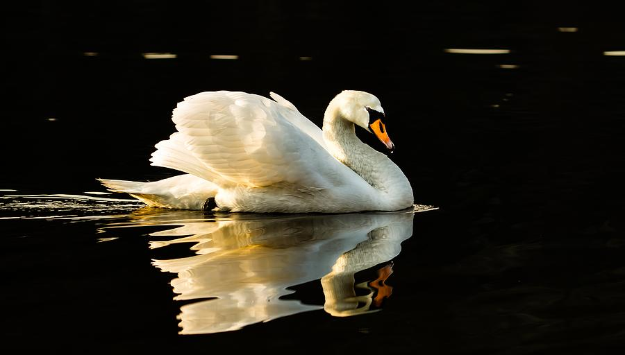 Swan Photograph - Floats On Peaceful Water by Rose-Maries Pictures