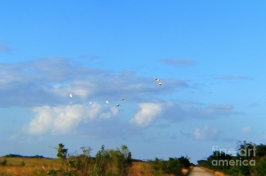 Everglades Photograph - Flock Of Egrets by Andres LaBrada