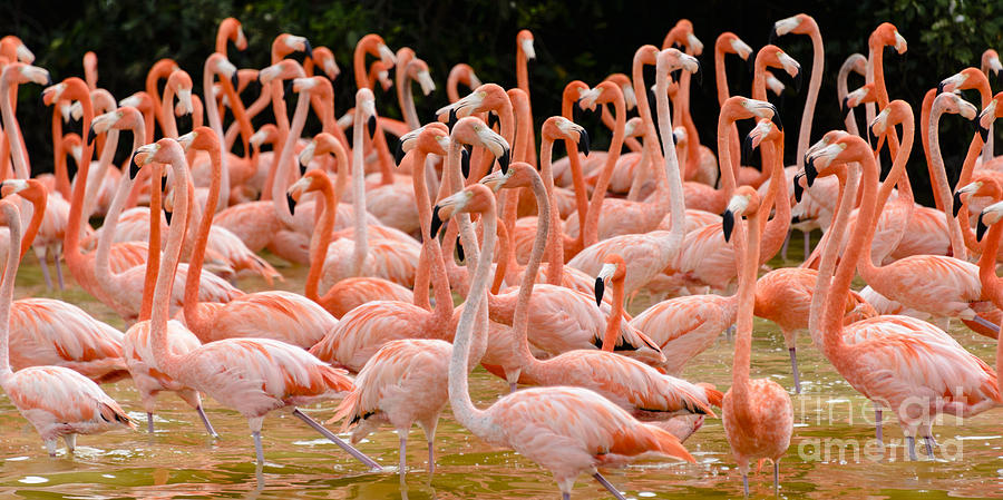 American Flamingo Photograph - Flock Of Flamingoes by Oscar Gutierrez
