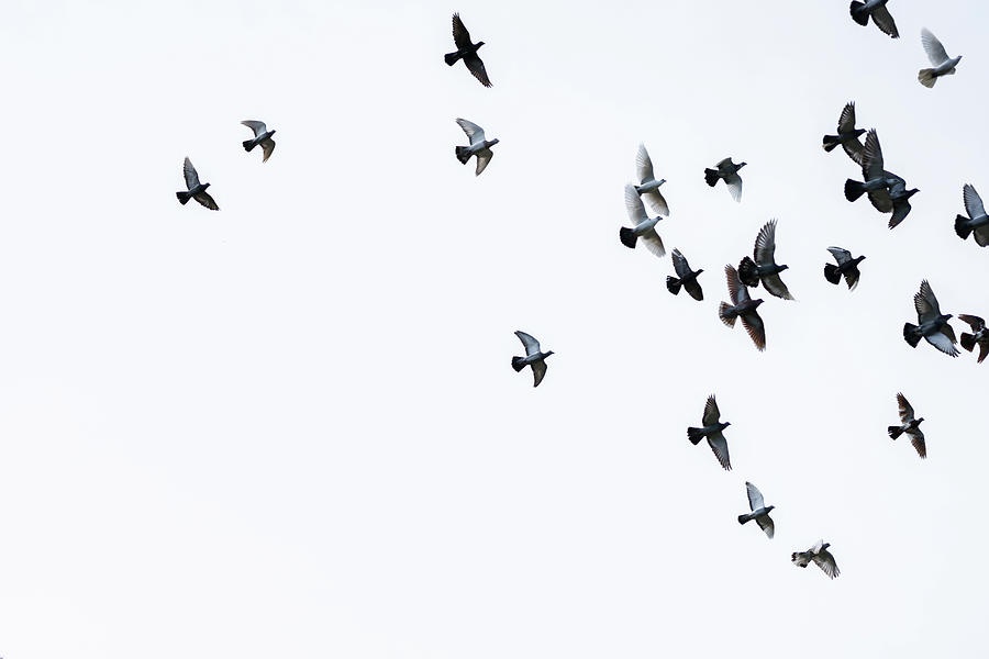 Flock Of Pigeons Photograph by Mustafagull