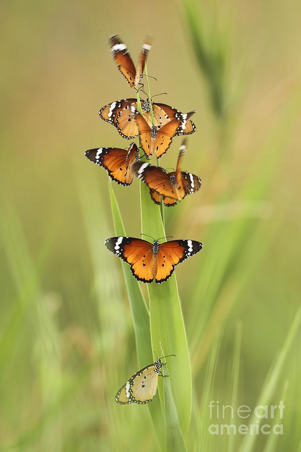 African Monarch Photograph - Flock Of Plain Tiger Danaus Chrysippus by Alon Meir