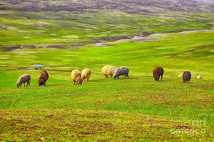 Field Photograph - Flock Of Sheep by Gabriela Insuratelu