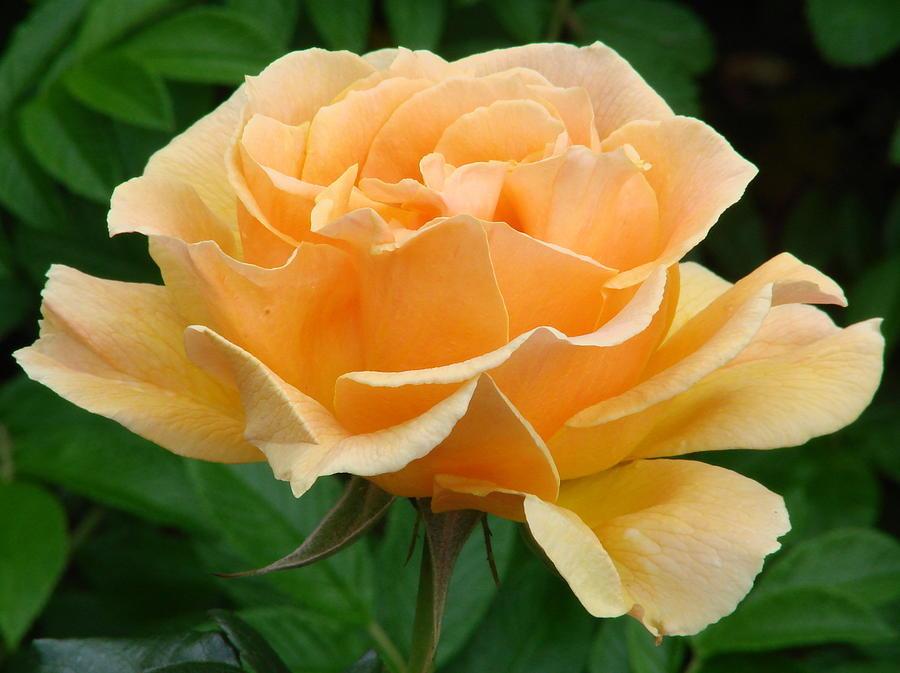 Rose Photograph   Florabunda Rose Easy Living By Ed Mosier