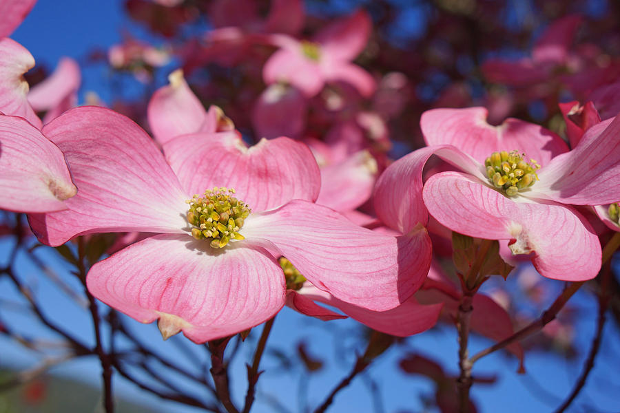 Dogwood Photograph - Floral Art Print Pink Dogwood Tree Flowers by Baslee Troutman