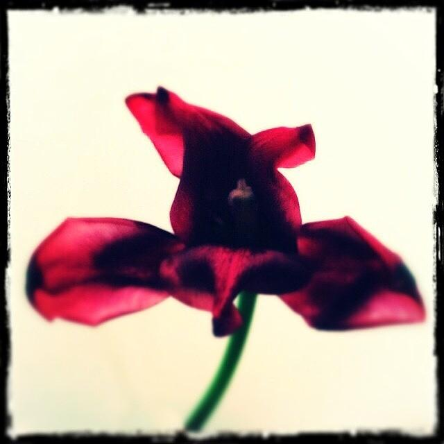 Flower Photograph - #floral #flower #tulip #hipstamatic by Jan Pan
