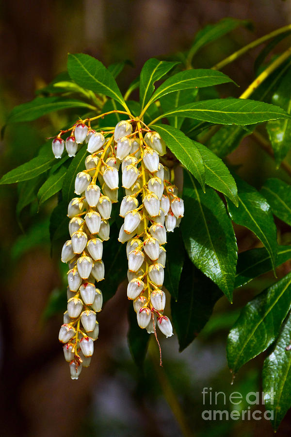 Pieris Japonica Photograph - Floral Hanging Lanterns From Japan by Byron Varvarigos