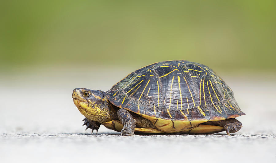 Florida Box Turtle Photograph by Kristian Bell