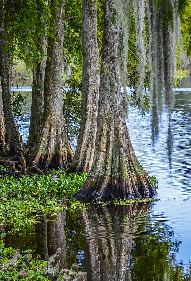 Florida Cypress Trees Photograph By Carolyn Marshall