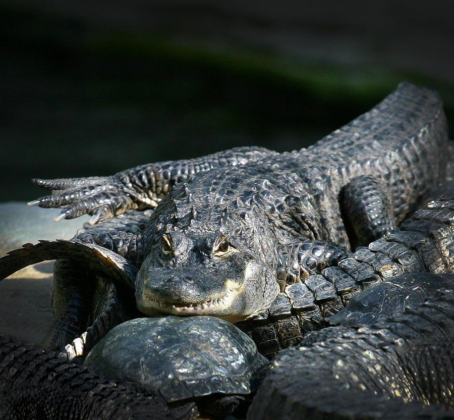 Florida Gator Photograph