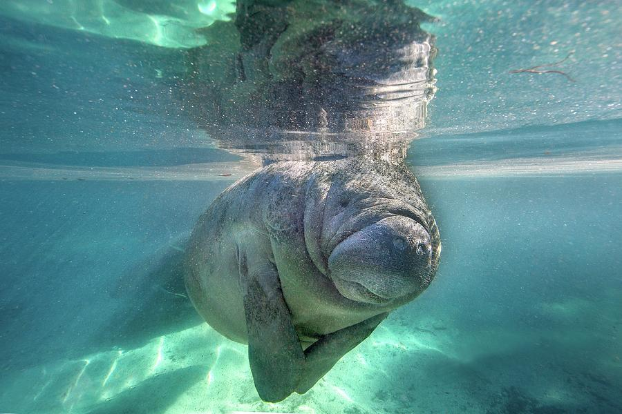 Florida Manatee Photograph by Ai Angel Gentel