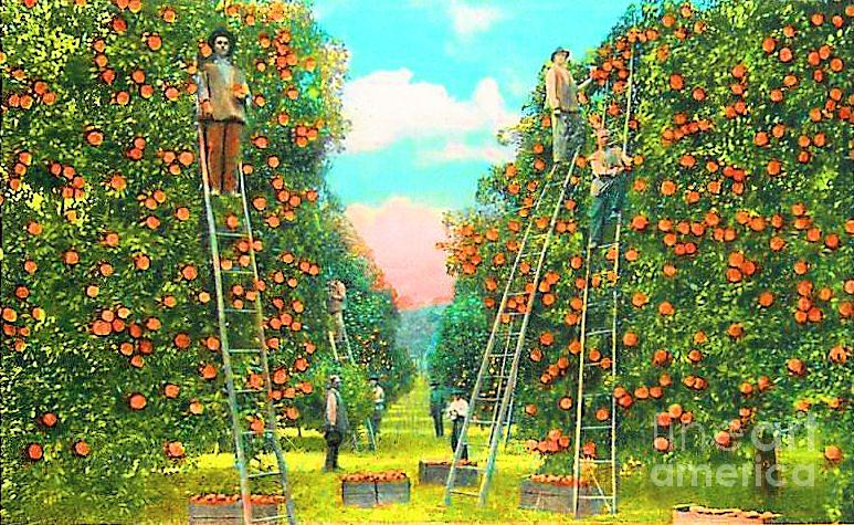 Florida Photograph - Florida Orange Pickers 1920 by Annette Allman
