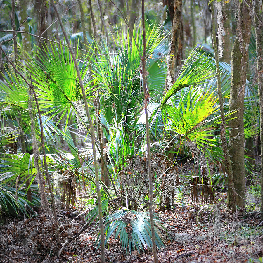 Florida Nature Photograph - Florida Palmetto Bush by Carol Groenen