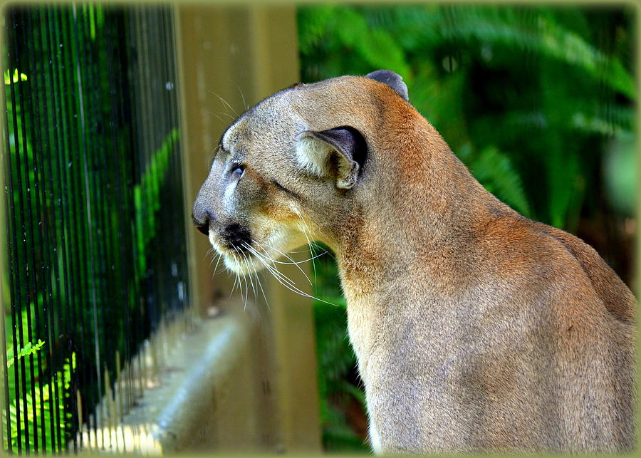 Panthers Photograph - Florida Panther by Amanda Vouglas