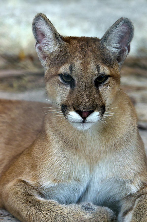 Florida Panther, Endangered Photograph by Mark Newman